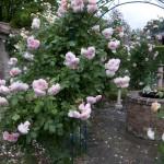 Rose – Königin der Blumen