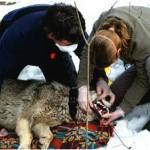 Chernobyl's Radioactive Wolves