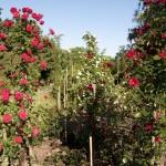 Rose – Koenigin der Blumen